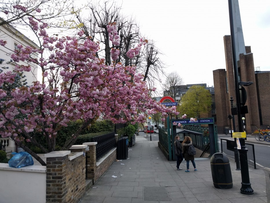 Pink flowering tree in front of Underground Tube Station Sign